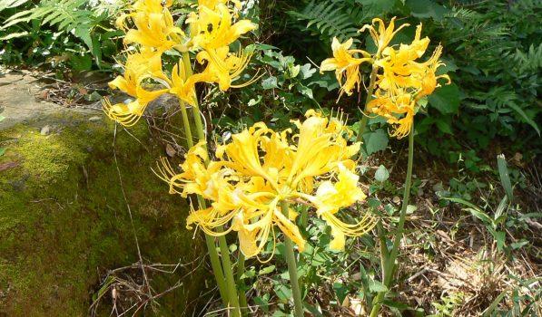 黄色い彼岸花。