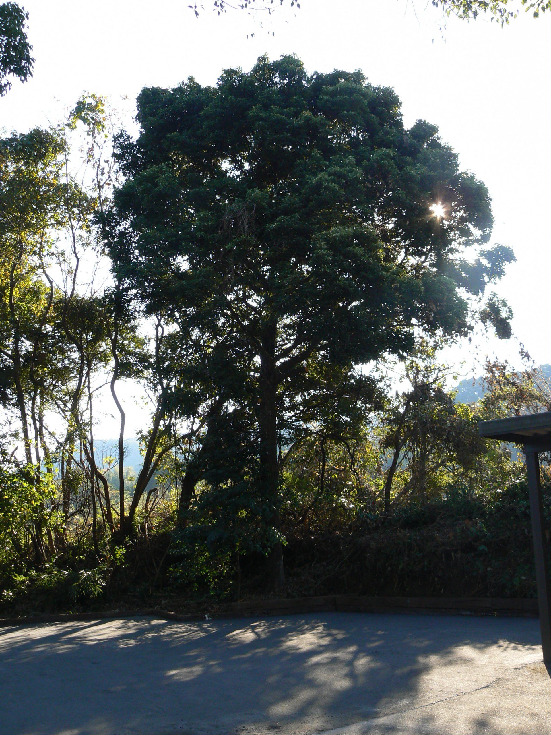 ニッケの木
